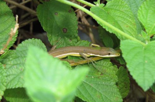 アオカナヘビ  カナヘビ科