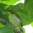 リュウキュウメジロ  メジロ科  幼鳥