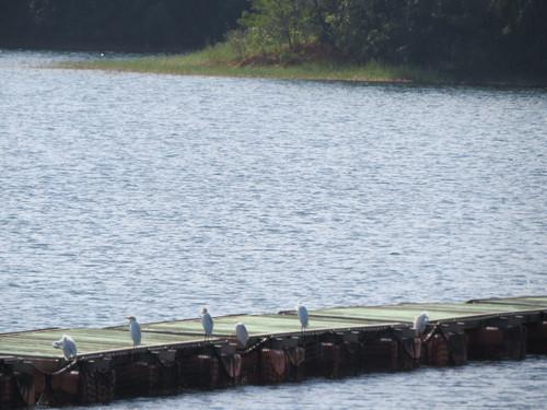 ダム湖のアマサギ Img_1267jpg