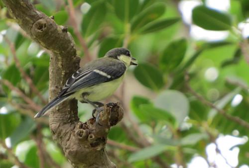 オキナワシジュウカラ  シジュウカラ科  幼鳥