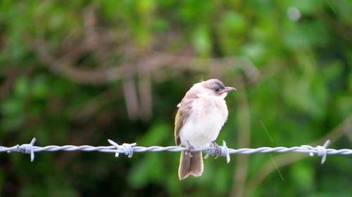 シロガシラ ヒヨドリ科  幼鳥