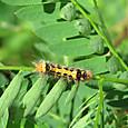 タイワンキドクガ幼虫