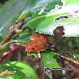 オキナワルリチラシ 幼虫か