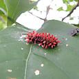クロツバメ 幼虫