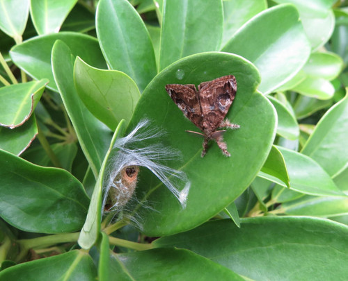 ヤドリフカノキに止まる蛾
