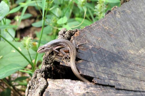 ニホンカナヘビ カナヘビ科