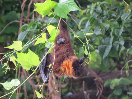 オリイオオコウモリ