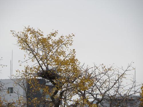 都内・カラスの巣