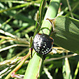 アオクサカメムシ幼虫 カメムシ科