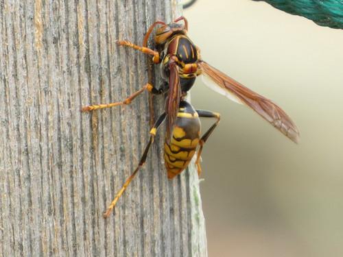 セグロアシナガバチ  スズメバチ科