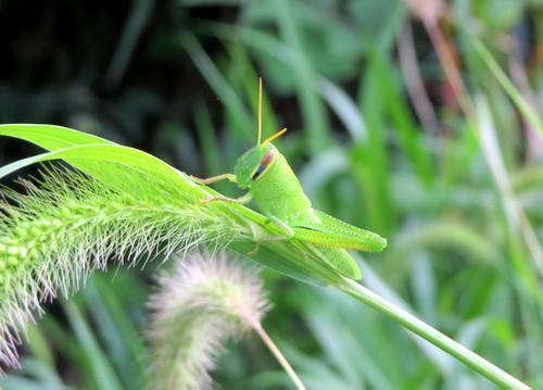 ツチイナゴ 幼虫 バッタ科