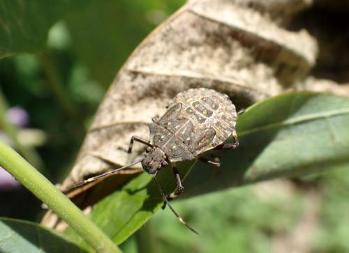 クサギカメムシ幼虫 カメムシ科