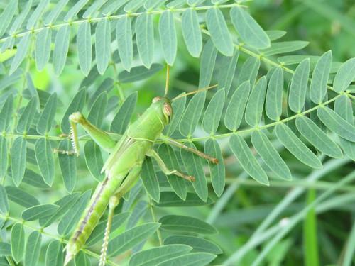 タイワンツチイナゴ幼虫