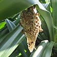 オキナワチビアシナガバチ スズメバチ科