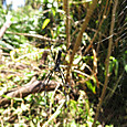 オオジョロウグモ ♀ ジョロウグモ科