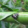 カラスハエトリの一種 オス ハエトリグモ科
