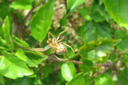 サツマノミダマシ ♀コガネグモ科腹面