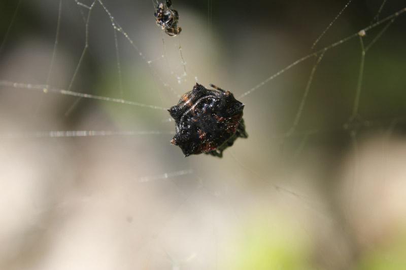 チブサトゲグモ  コガネグモ科