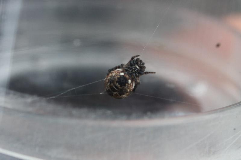 トゲゴミグモ♀ コガネグモ科