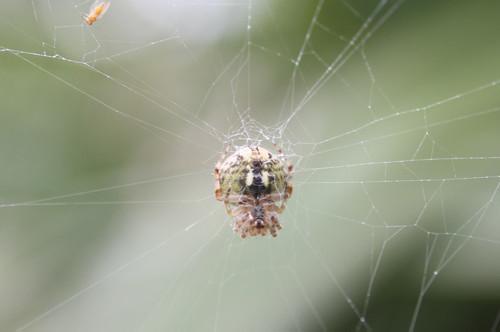 ヘリジロオニグモ ♀ コガネグモ科