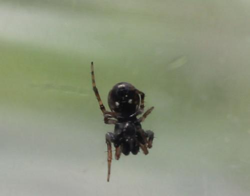トゲゴミグモ♂ 腹側