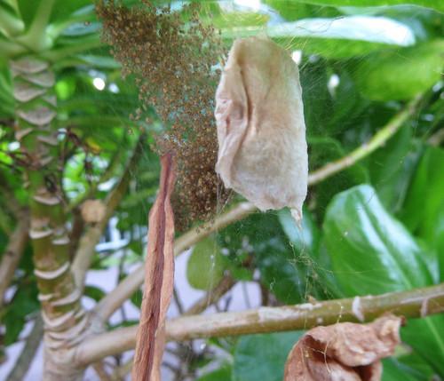 蜘蛛の卵のう  まどい