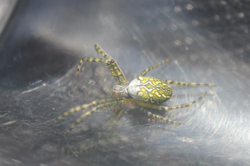 スズミグモ コガネグモ科 幼体