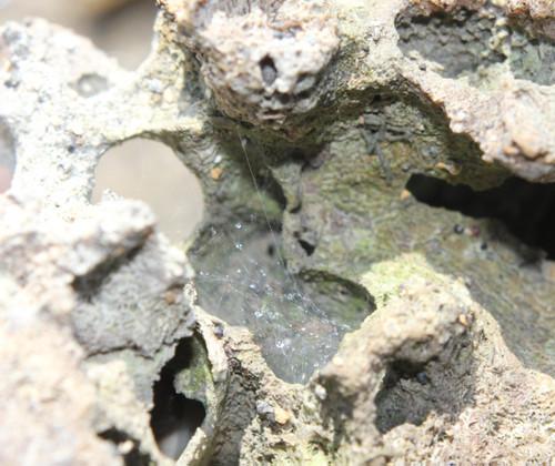 アワセイソタナグモ 住居