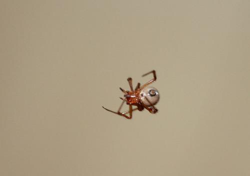 ヒメグモの一種か 腹面