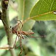 アシナガグモ♂ アシナガグモ科