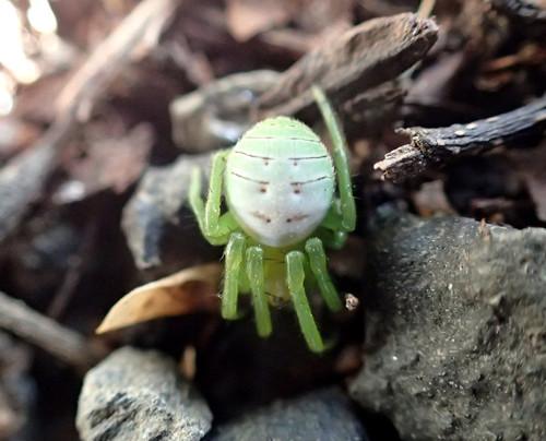 アオオニグモ コガネグモ科