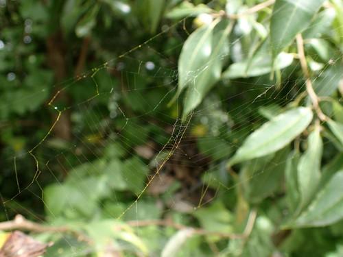 アオオニグモ 網