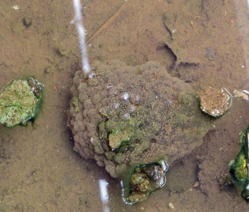 ニホンアカガエル 卵塊