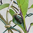 オオゴマダラ幼虫