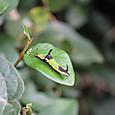 イシガケチョウ タテハチョウ科  5齢幼虫