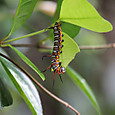 ツマムラサキマダラ幼虫  タテハチョウ科