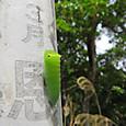 アオスジアゲハ 幼虫