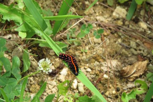 ツマグロヒョウモン 幼虫