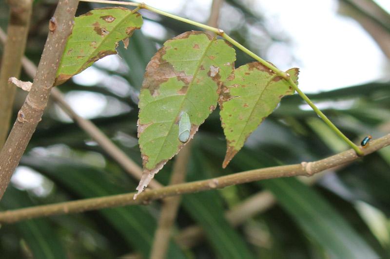 テングチョウ蛹