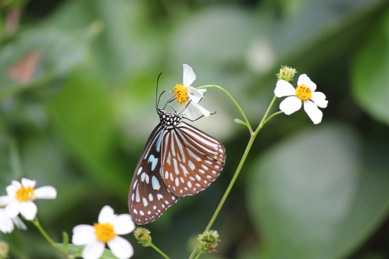 リュウキュウアサギマダラ   タテハチョウ科
