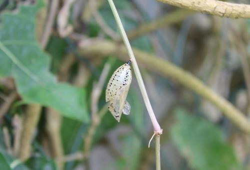オオゴマダラ 羽化殻