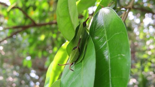 イシガケチョウ 終齢幼虫