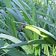 クロコノマチョウ タテハチョウ科 幼虫