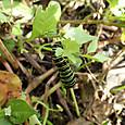 キアゲハ 幼虫