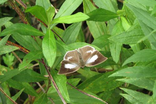 ウラギンシジミ ♀ シジミチョウ科