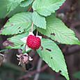 リュウキュウバライチゴ バラ科