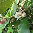 ホウロクイチゴ バラ科