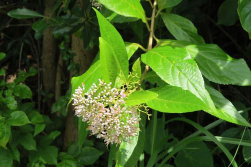 オオムラサキシキブ クマツヅラ科