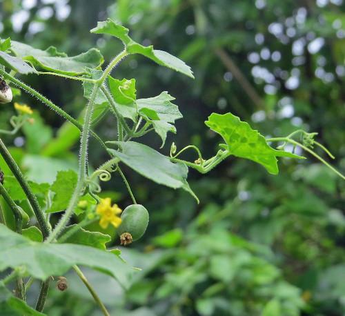 クロミノオキナワスズメウリ  ウリ科